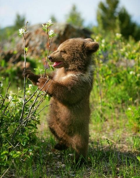 magicalnaturetour:  Bear cub by K Price