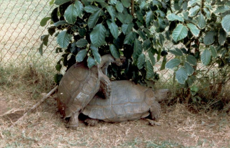Turtles doing it in Oahu Zoo in Hawaii boy are they