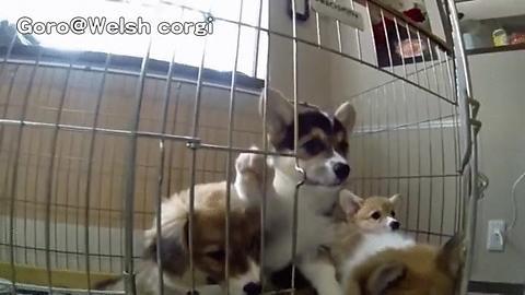 Corgi Stampede Cute Dog Pictures Puppies Gif Corgi
