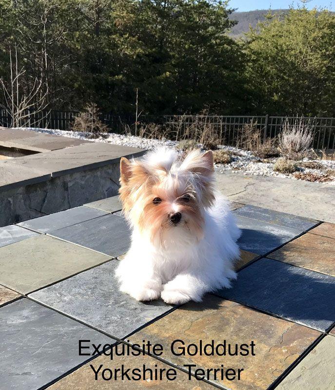 Golddust Yorkshire Terrier puppy Yorkshire terrier