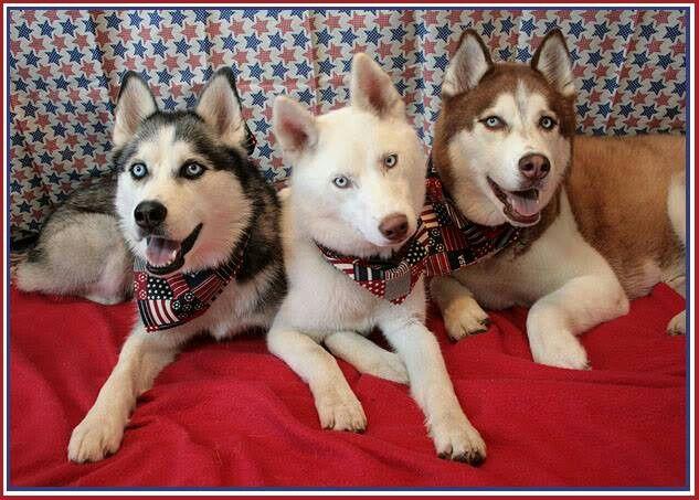 Pin By Jj Johnson On Animals Fluffy Dogs Husky Pet I Love Dogs