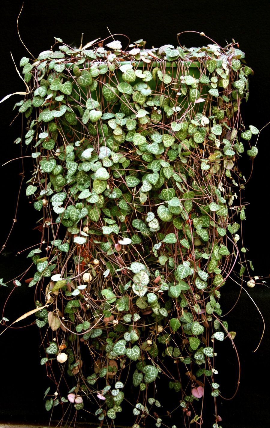 Chain Of Hearts Ceropegia Woodii An Evergreen Trailing Vine With