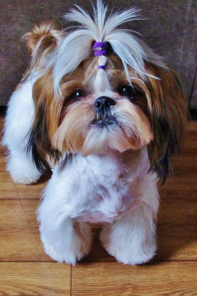 Super Cute Shih Tzu Puppylove Dog Welovepets