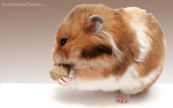 Diet For Hamster With No Teeth Smallanimalchannel Small Pet Supplies Hamster Small Pets