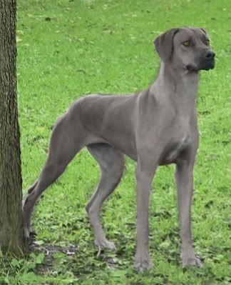 years breed rhodesian ridgeback and weimaraner cross rank