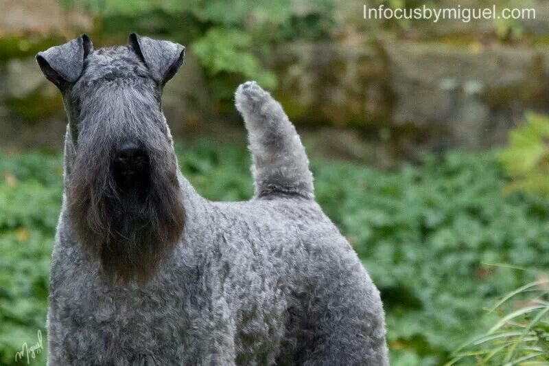 Pancho Kerry Blue Terrier Kerry Blue Terrier Fox Terrier Pet