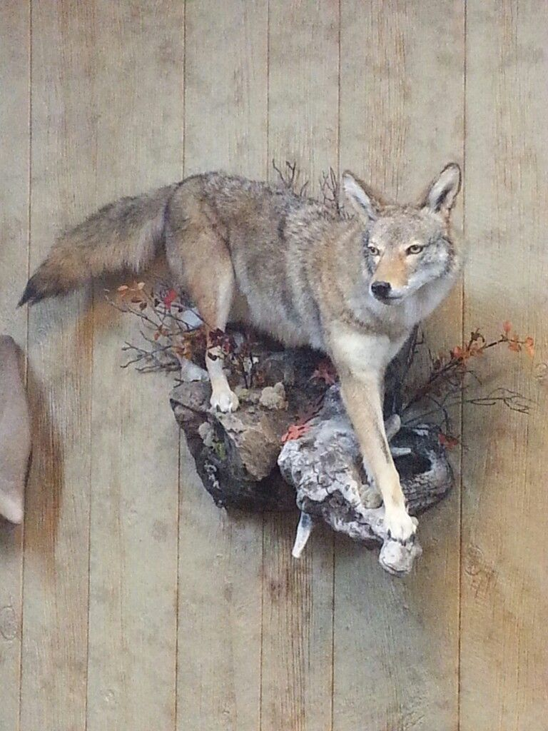 Coyote Taxidermy Display Funny Animal Pictures Coyote Mounts