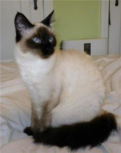 diluted calico cat