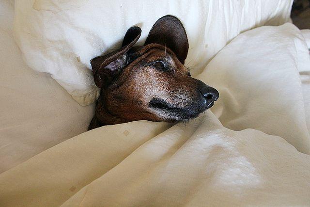 Mini dachshund by Ankar60, via Flickr