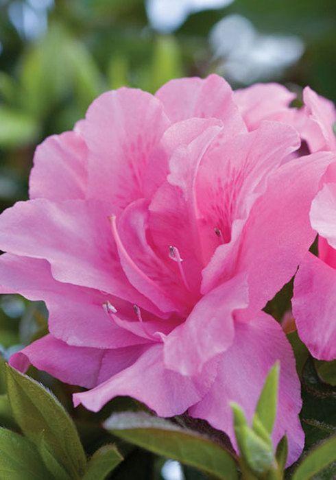 Autumn Carnation Encore Azalea Hybrid Tea Roses Tea Roses Hot Pink Flowers