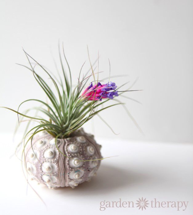 How To Keep Air Plants Alive And Healthy They Might Even