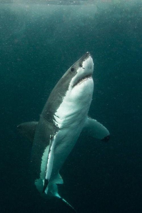 Great White Shark, so beautyful!! :-)
