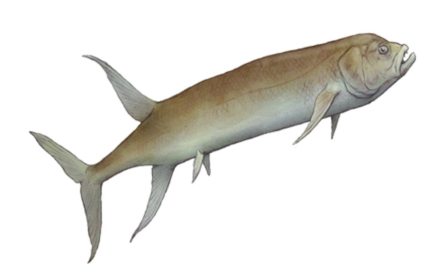 Art illustration - Aquatic animals - Gillicus arcuatus: was a relatively small, Ichthyodectidae fish of 2 meters long, living in the Western Interior Sea in what is now the center of North America during the Late Cretaceous. Like its larger relative, Ichthyodectes ctenodon, the Gillicus arcuatus had numerous small teeth covering their jaws, was a fish 6 feet (1.8 m) long.