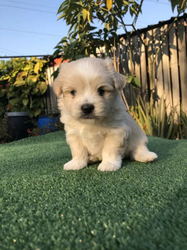 Maltese Shih Tzu X Puppies Dogs Puppies Gumtree Australia