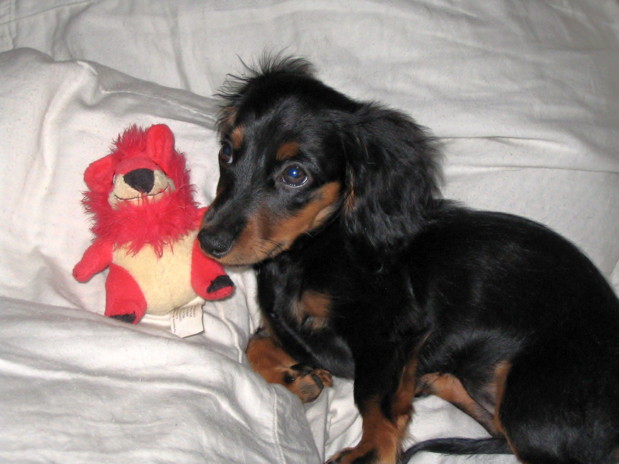 Our miniature longhaired doxie laci as a puppy pets pinterest