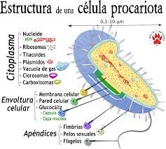 Resultado De Imagem Para Celula Procariota Biología