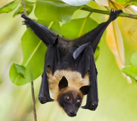 Bats Can Hang Upside Down For Hours Because Their Blood Pumps In The Opposite Direction From Humans