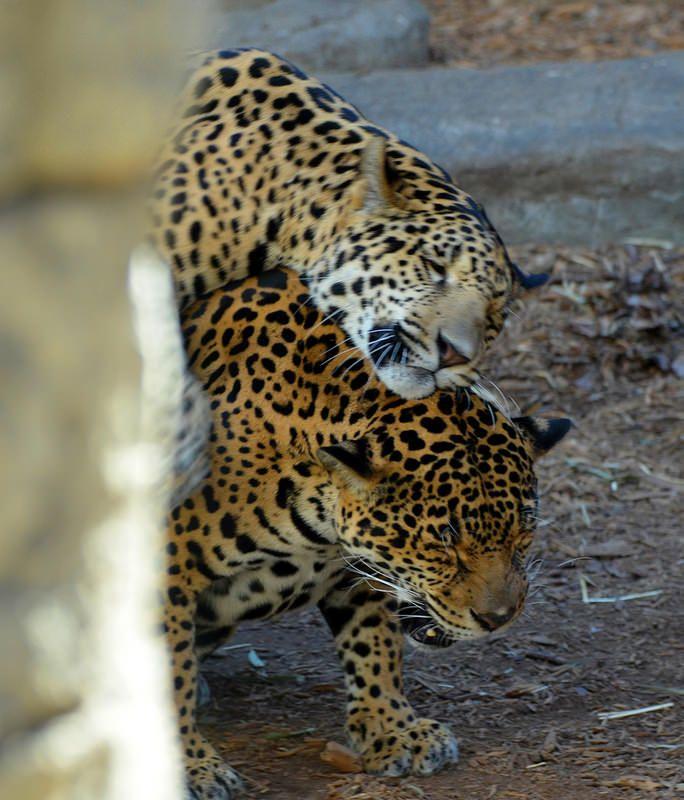 Tulsa Zoo, Panther, Jaguar, Album, Zoos