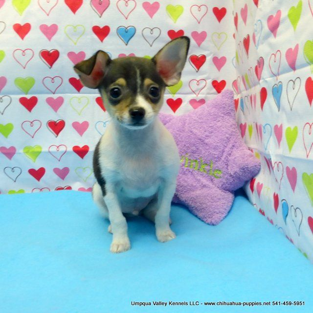 Chihuahua Breeder In Oregon Chihuahua Puppies For Sale