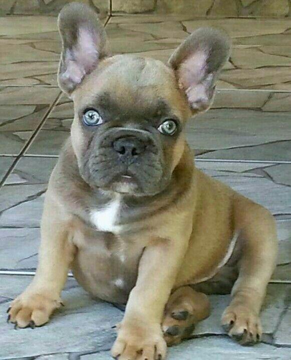 French Bulldog Whith Bright Blue Eyes French Bulldog Puppies