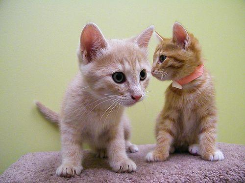 BAS Kittens by burlingtonhumane http://flic.kr/p/6x6S3n