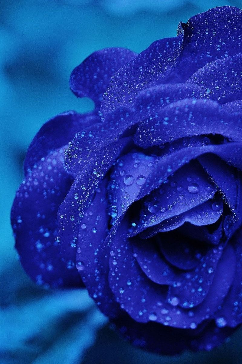 Blue rose water inspired colors pinterest blue roses