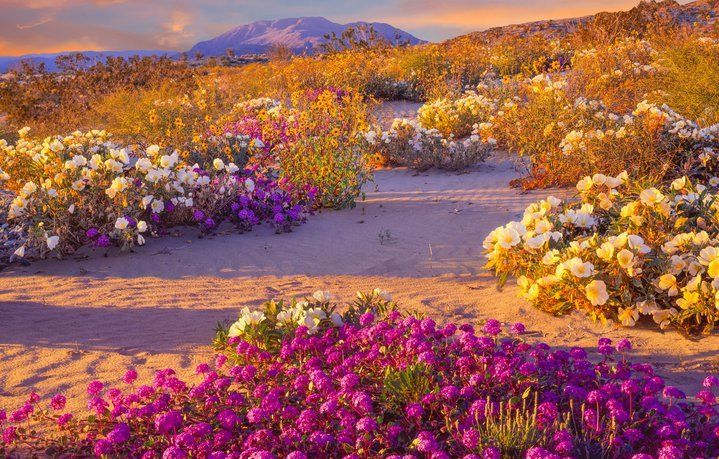Desierto de flores      El desierto florido, como comúnmente se le conoce, está ubicado en Atacama, Chile. Este peculiar fenómeno consiste en la aparición de gran diversidad de flores cuando las precipitaciones son inusuales en este lugar