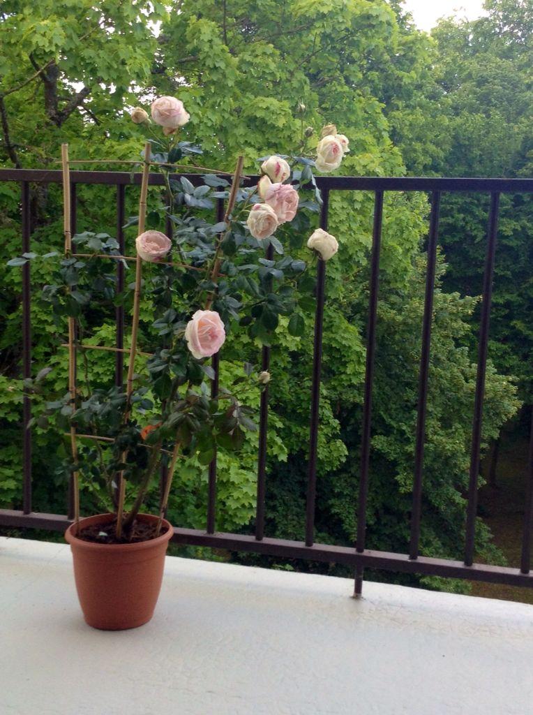 magnifique rosier grimpant pierre de ronsard pour mon balcon rosiers pinterest rosier. Black Bedroom Furniture Sets. Home Design Ideas
