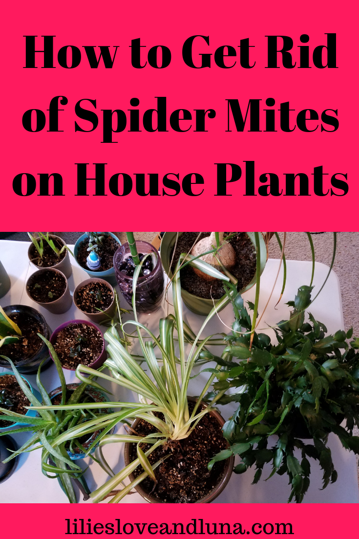 How To Get Rid Of Spider Mites Get Rid Of Spiders Spider Mites Plant Pests