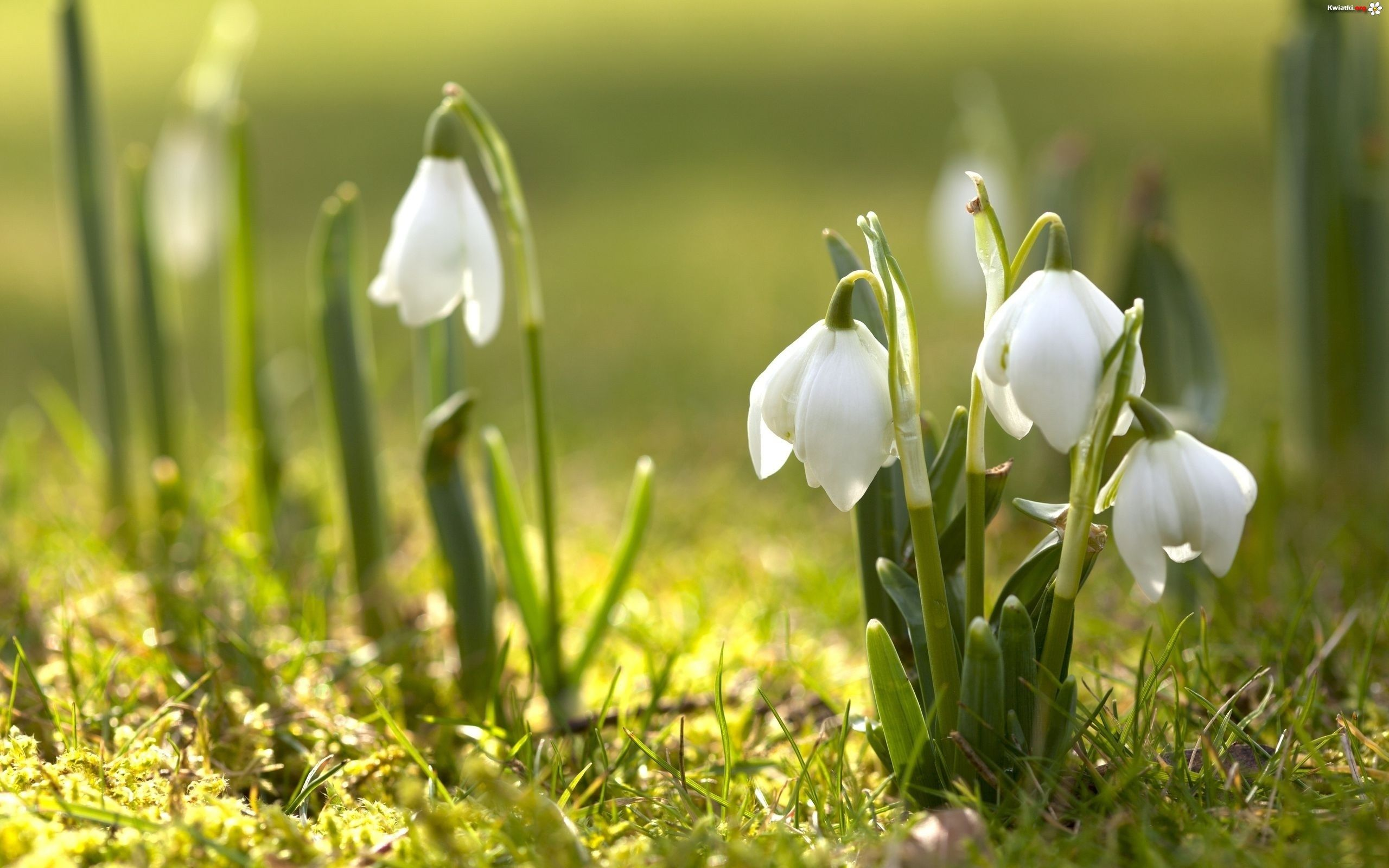 Snowdrops Early Spring Flowers Spring Flowers Wallpaper Spring Flowers