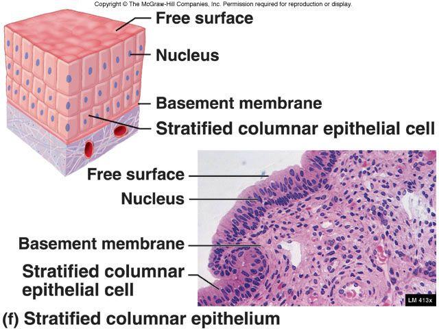 stratified columnar epithelium diagram wiring 2 way switch nn physiology anatomy