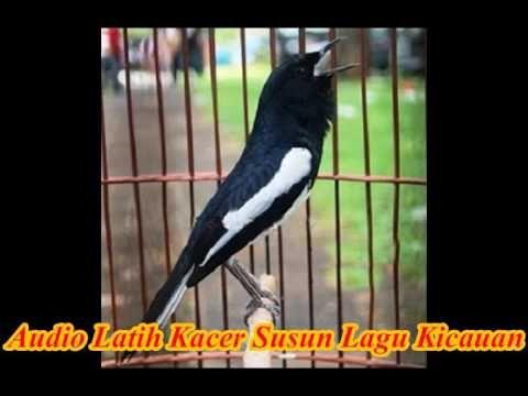 Suara Burung Kacer Untuk Melatih Menyusun Lagu Kicau Background Air Lagu Latihan Burung