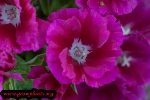 Godetia Fushia Flower Flowers Growing Growing Instructions