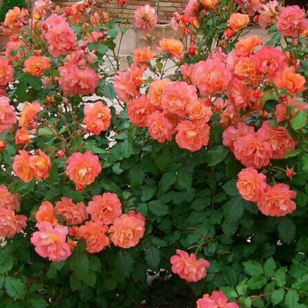 above all climbing rose the improved westerland rose. Black Bedroom Furniture Sets. Home Design Ideas