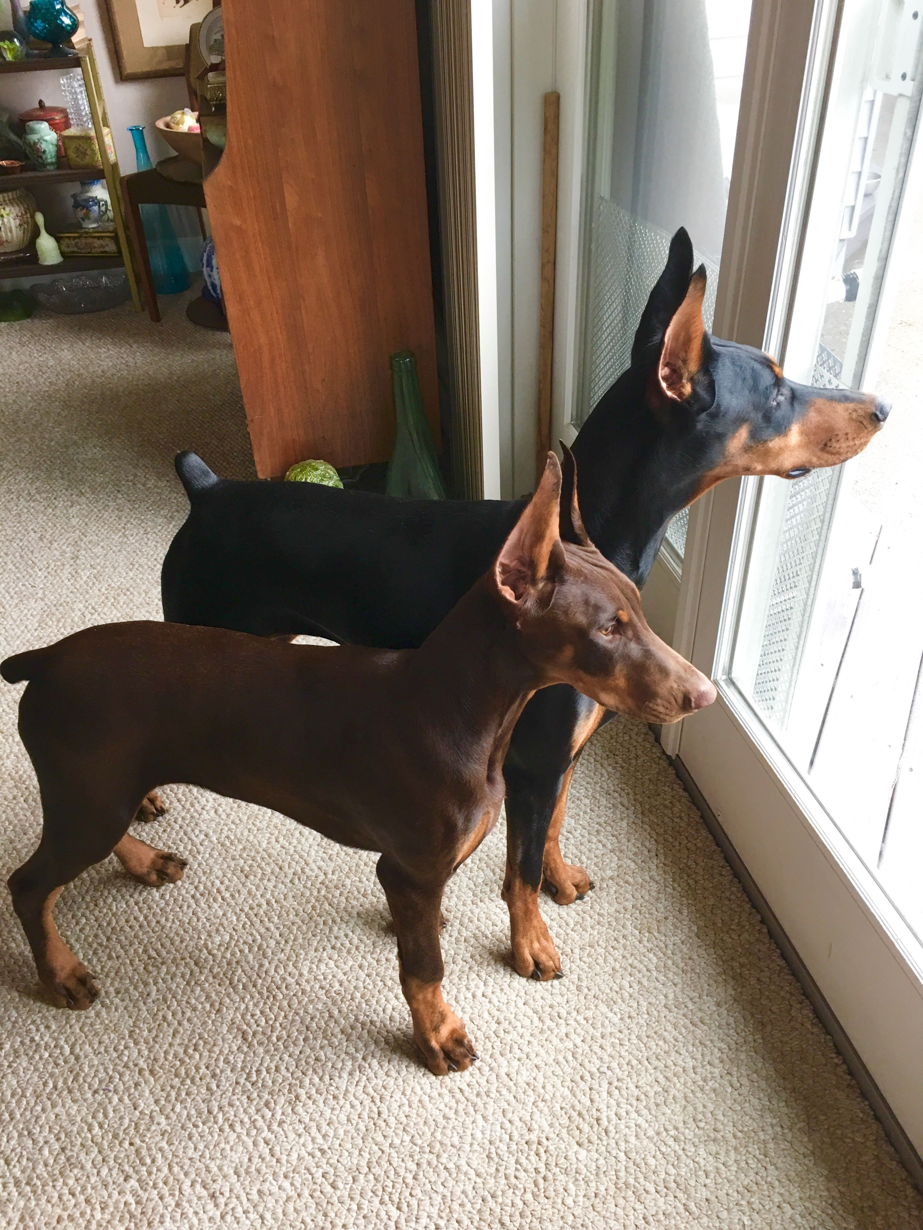 WHAT ! you want us to pee in the rain !! Doberman