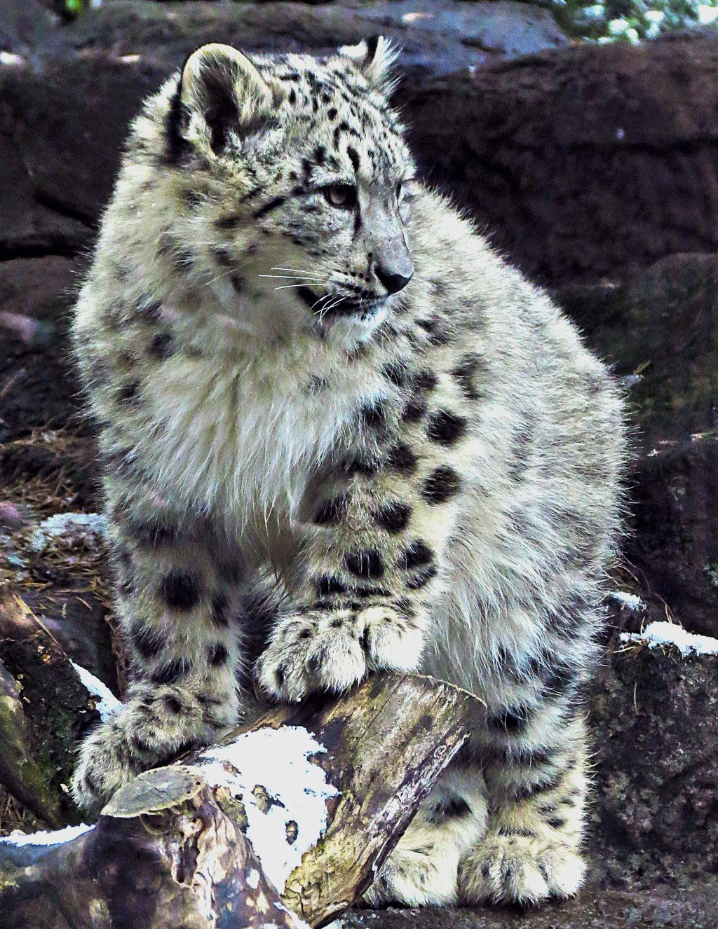 Month Old Male Snow Leopard Cub Born At The Rosamond Gifford Zoo In Syracuse Ny Back In Feel Free To Use As A Reference Or As Stock For Photo M