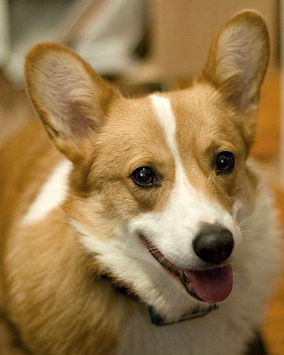 Max By Laurie With Dog Portraits Art Corgi Dog Portraits