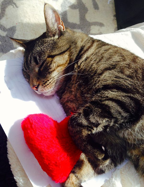 Cat Sleeping With His Valentine S Day Toy Catniptoy Hearttoy