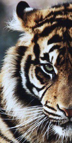 Bild von jemandem entdeckt. Entdecke (und speichere!) Deine eigenen Bilder und sieh …  tiger wallpaper