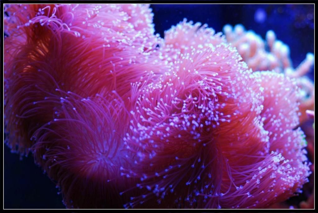 Pink toadstool leather coral the reef pinterest for Pink saltwater fish