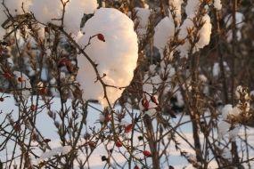 Hagebutte (Rosa canina) im Winter / Rose hip (Rosa canina) in winter