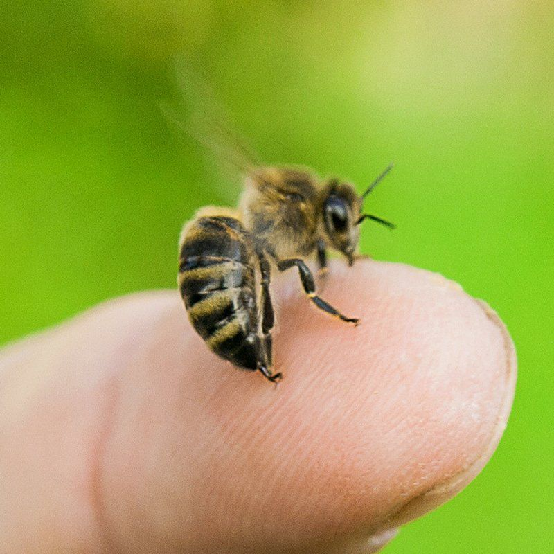 Why Do Bees Sting Mistakes to Avoid Honey bee sting