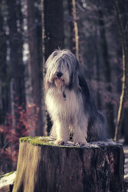 Old English Sheepdog This Reminds Me Of The Sheep Dog In 101
