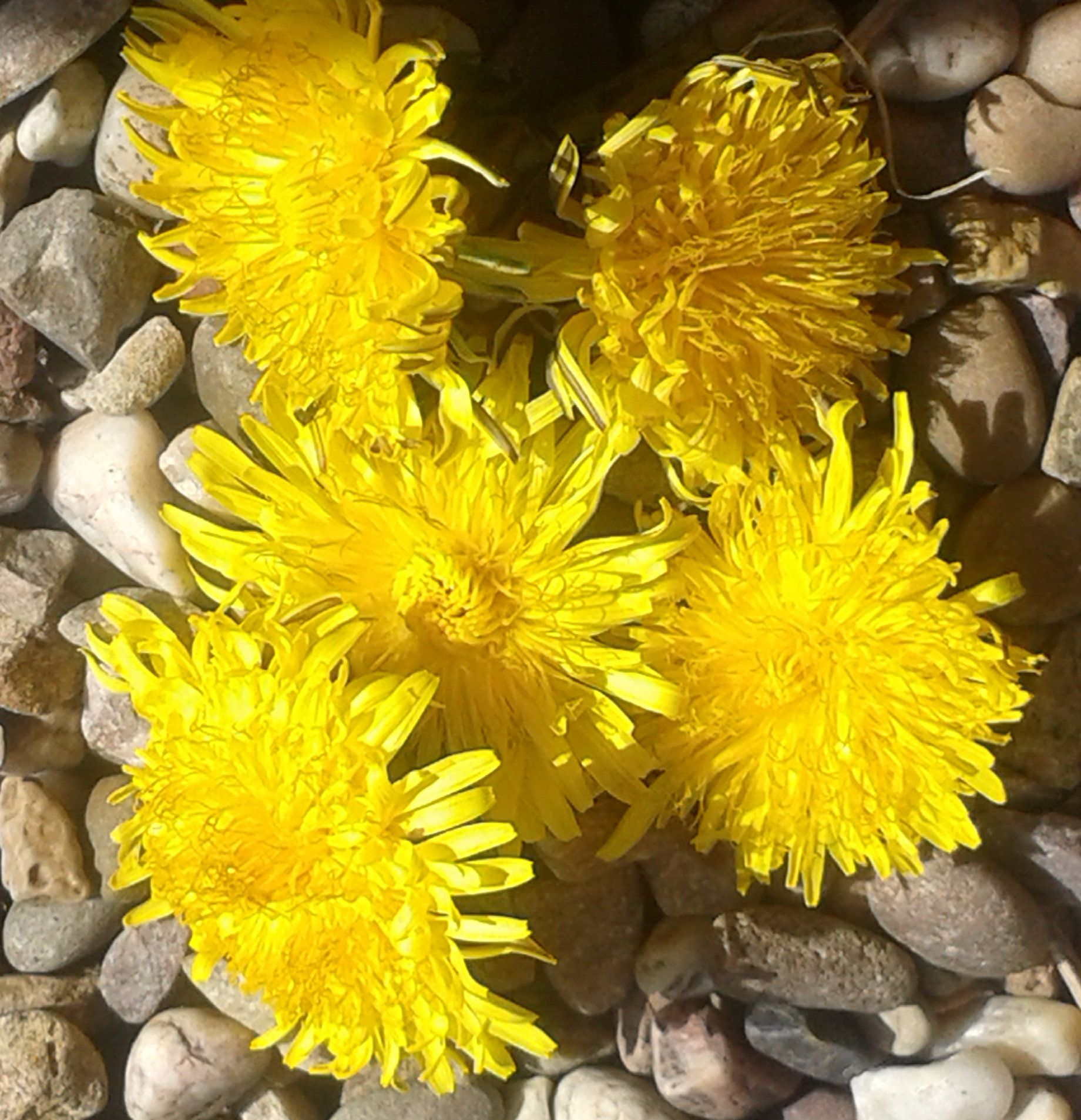 Dried Dandelion Flowers Magical Use Crafting Poppets Sachets Rituals Wiccan Pagan Shop Natural Healing Dandelion Flower