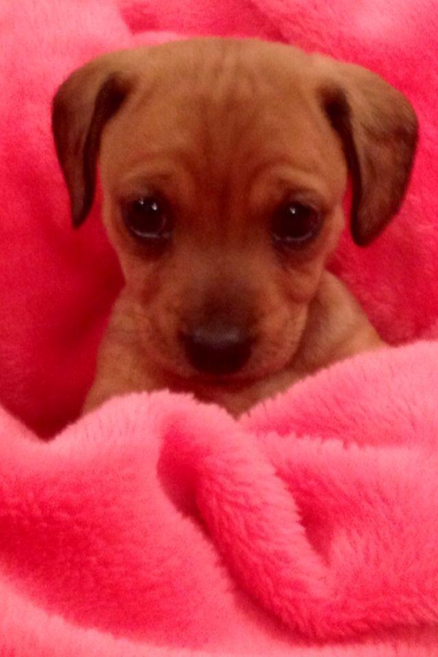 Daisy The Chiweenie Puppy Not Our Daisy But Soooo Cute