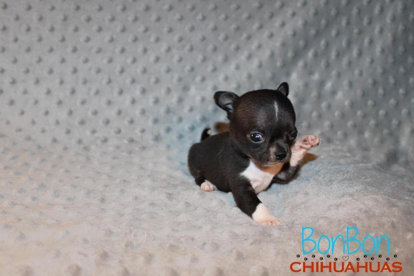 Chihuahua Puppies For Sale Bonbon Chihuahua Chihuahua Puppies