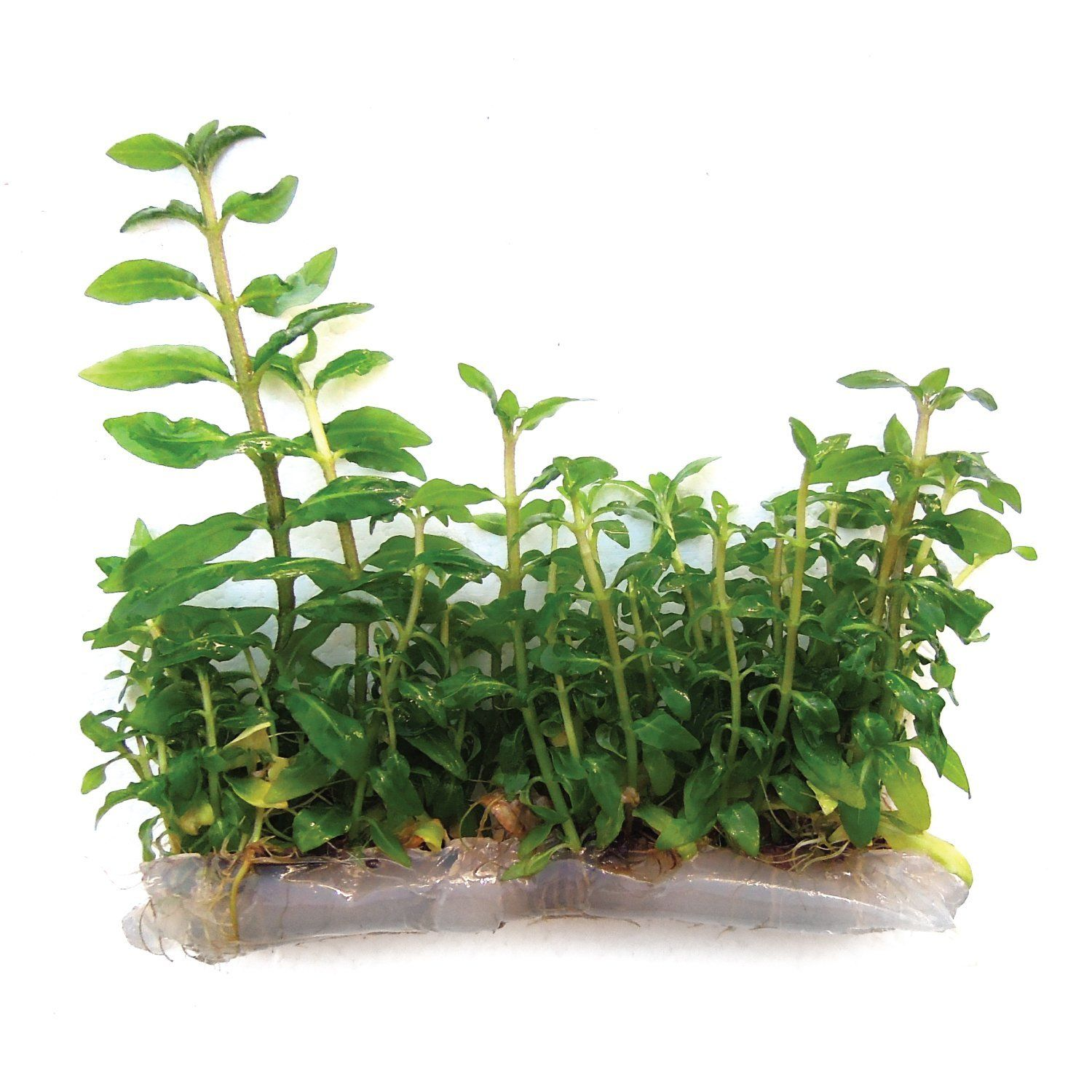 Amazoncom Substratesource Staurogyne Repens Low Grow Live Aquarium Plant