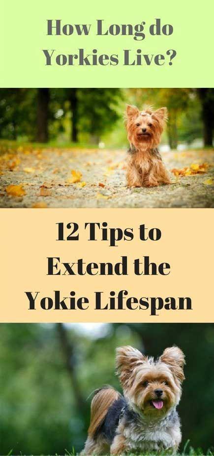Yorkie Lifespan How Long do Yorkies Live? Yorkshire
