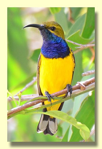 Olive Backed Sunbird Pretty Birds Beautiful Birds Australian Animals