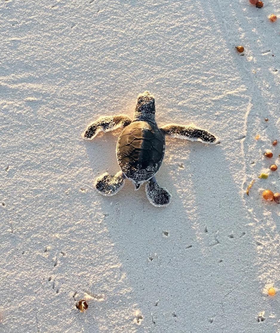 Endangered Green Sea Turtle Baby Sea Turtles Baby Turtles Sea Turtle Wallpaper